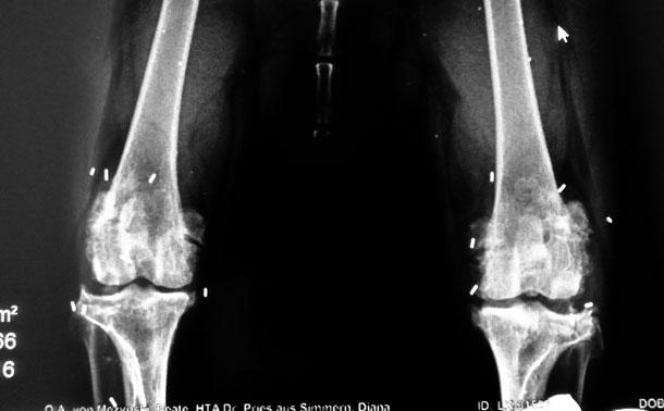 Röntgenaufnahme nach der Goldakupunktur © Tierarztpraxis Dr. Linzer