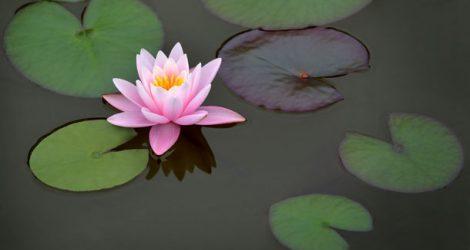 Wunderschöne Wasserpflanzen für Ihren Teich